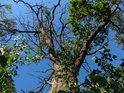 Souška dubu v levobřežní nivě Odry u obce Czerna.