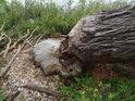 Bobří okus vrby na pravém břehu Odry pod obcí Krajnik Dolny.