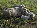 Maminka ovce s jehňaty na levém břehu Odry nedaleko obce Gatow.