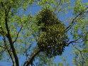 Jmelí v koruně vrby na břehu Odry v Loučkách.
