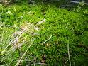 Sytě zelený mech  nedaleko pramene Odry.