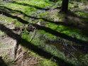 Jen zvolna se Odra ubírá mechovým lesním podložím.