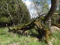 Padlé vrby obrůstají mechem a mnohdy větvemi zakoření.