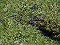 Vodní porosty na hladině Meschreriner See, levobřežního poloslepého ramene Západní Odry nad obcí Meschrerin.