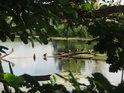 Divoké husy na pahýlu stromu, čnějícího nad hladinu Meschreriner See.